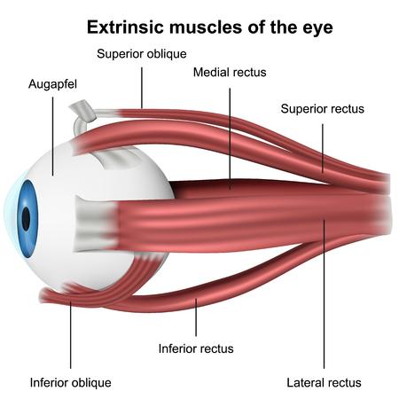 Muscles of the eye, 3d medical vector illustration on white background Illustration