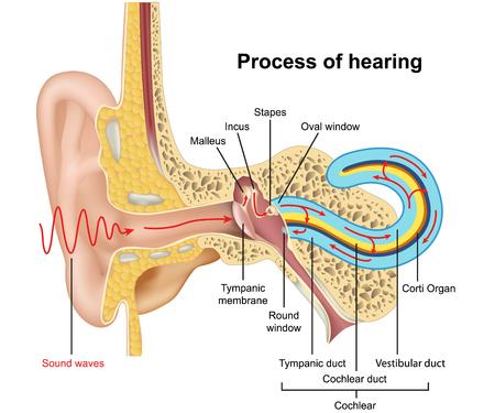 Proceso de audición, anatomía del oído 3d ilustración vectorial sobre fondo blanco.