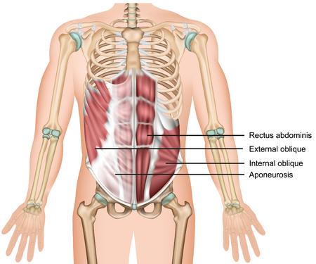 Muscolo obliquo esterno 3d illustrazione vettoriale medico muscolo addominale