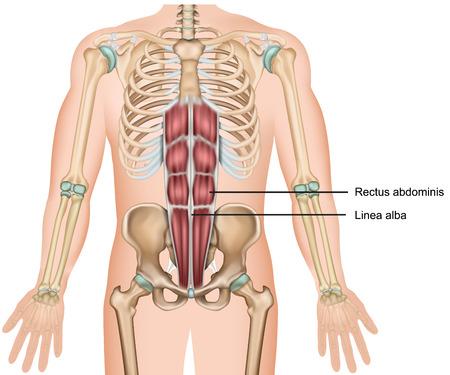 Ilustración de vector médico 3d del músculo recto del abdomen