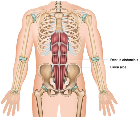 Rectus abdominis Muskel 3d medizinische Vektorillustration