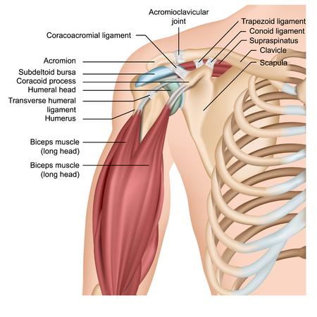 Medizinische Vektorillustration der Schulteranatomie 3d mit Armmuskeln Vektorgrafik