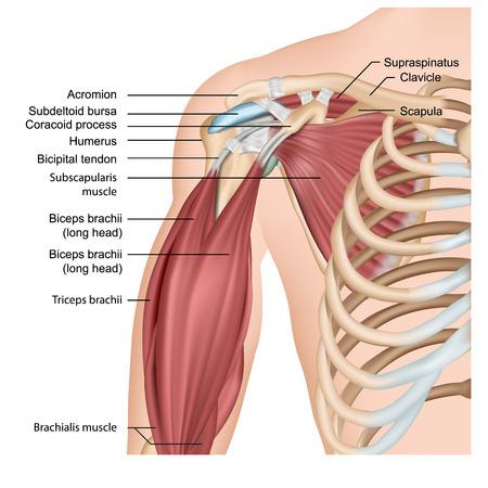 Músculos del hombro y el brazo 3d ilustración de vector médico sobre fondo blanco.