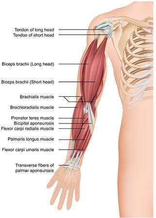 Anatomia del muscolo del braccio 3d illustrazione vettoriale medico avambraccio Vettoriali