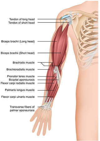 Arm muscle anatomy 3d medical vector illustration forearm