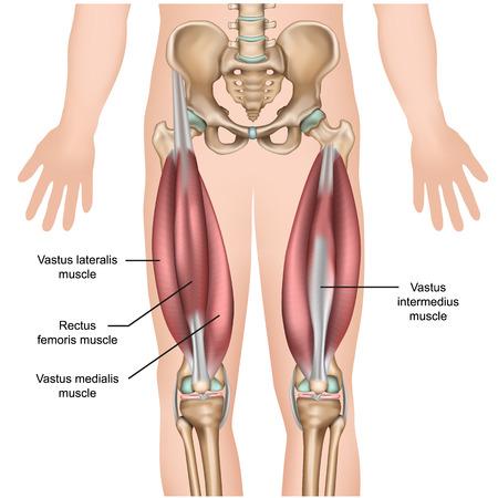 anatomia del muscolo quadricipite 3d illustrazione vettoriale medica Vettoriali