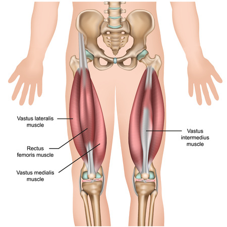 quadriceps muscle anatomy 3d medical vector illustration