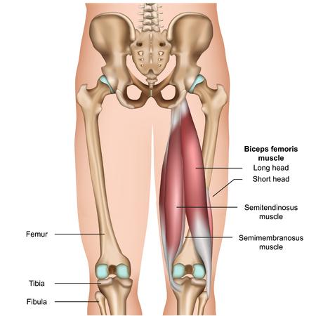 Ilustración de vector médico 3d de la anatomía del músculo isquiotibial sobre fondo blanco