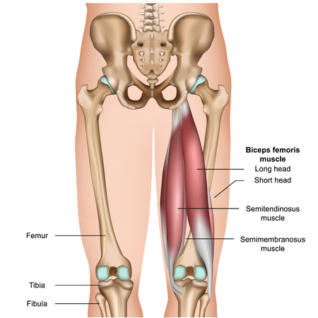 hamstring muscle anatomy 3d medical vector illustration on white background Illustration