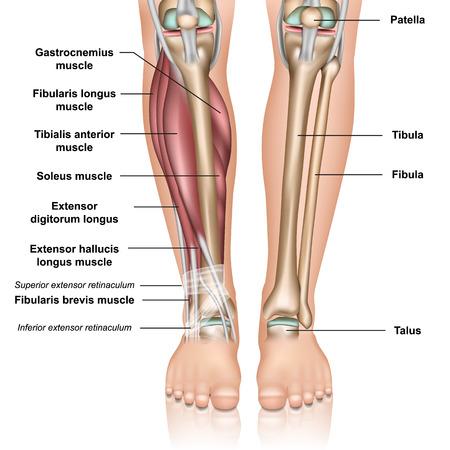 Ilustración de vector médico 3d de anatomía de la parte inferior de la pierna sobre fondo blanco Ilustración de vector