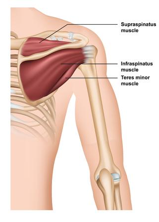 supraspinatus muscle anatomy 3d medical vector illustration