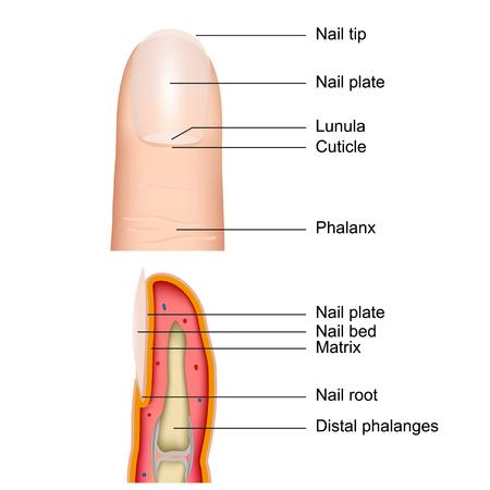 Fingernail anatomy, 3d medical vector illustration isolated on white background