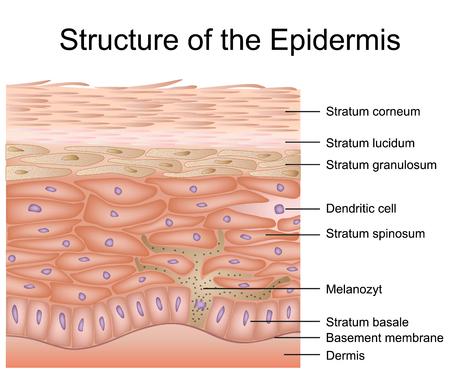 Structure of the epidermis medical vector illustration, dermis anatomy