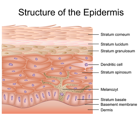 Structure of the epidermis medical vector illustration, dermis anatomy Imagens - 124273818