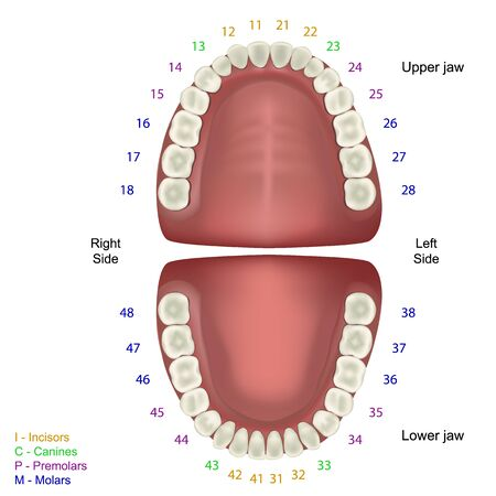 Tooth anatomy medical vector illustration on white background with numbers infographic fdi tooth