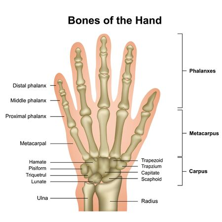 Bones of the hand medical vector illustration isolated on white background