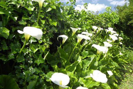 Callas in the garden photo