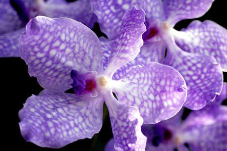 lila: Lila Orchid