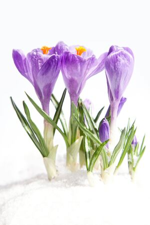 early spring snow: crocus flowers in the snow
