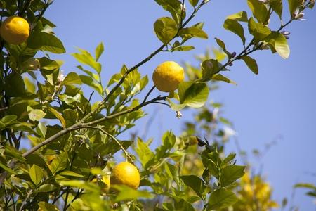 Yellow lemons on lemon tree   photo