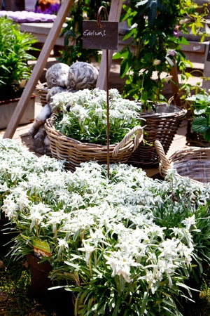 Edelweiss on a market for sell photo