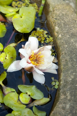 water lilies in an old well photo