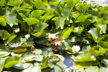 Wild water lilies Stock Photo - 14420332