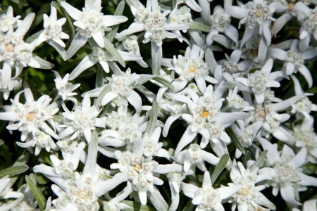 A group of Edelweiss