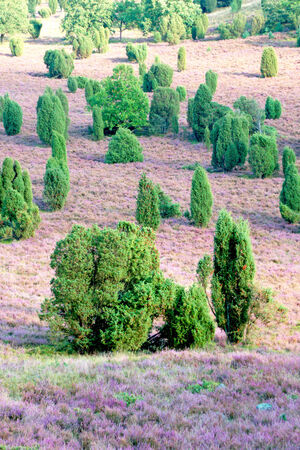 heathland: heathland with flowering common heather Stock Photo