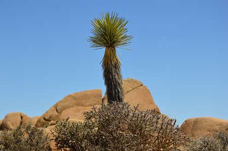 Yucca at Joshua Tree National Park, California