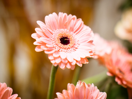 chrysanthemum in pink in a beautiful representation, from the flower shop Stock Photo