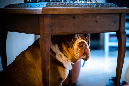 Portrait of English Bulldog with Sad Face Laying Down,Portrait of english bulldog with sad face feels neglected Stock fotó