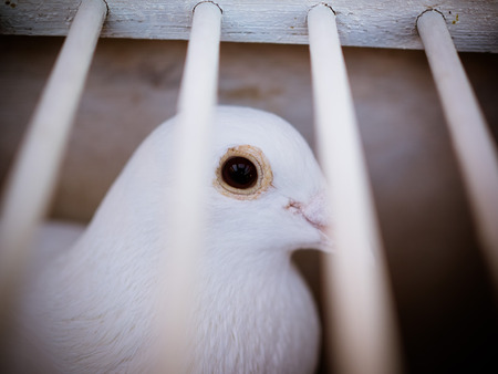 The white wedding doves in the cage, waiting for their flight