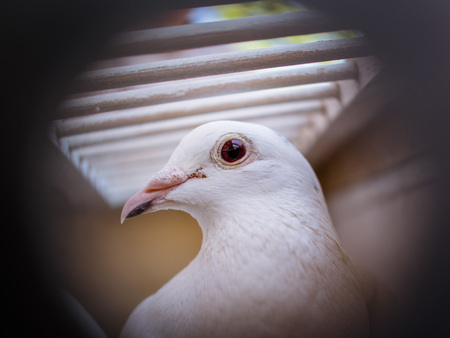 Beautiful White pigeons in cage, doves for wedding in captivity, close up, bird view, cage fence in focus
