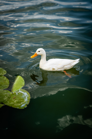 Domestic duck, Peking duck, Anas platyrhynchos, on the lake in the wild, is swimming on the lake, water lily