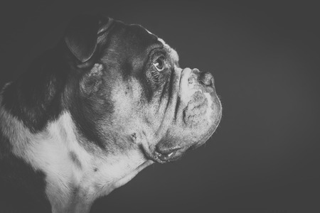 The old English bulldog portrait from the side, artfully in black and white