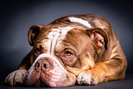 Old English bulldog lying on the floor Stock Photo