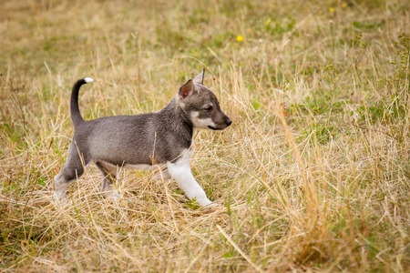 Cute little siberian husky puppy in grass in the summer