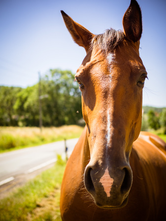 Front view of a horse, brown without dishes on the pasture