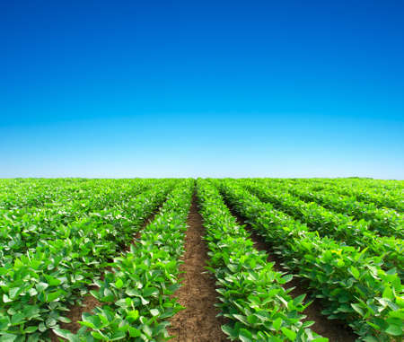 Green rows on the field