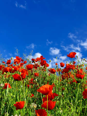 Red poppy on the sky background  Beautiful summer landscape photo