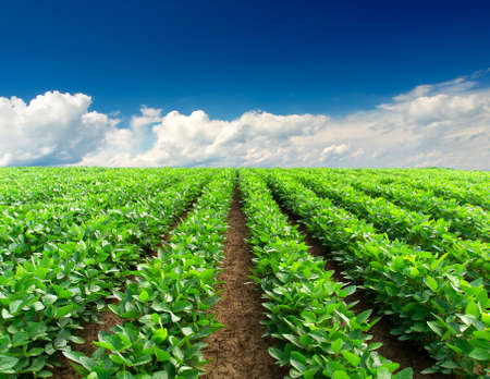 Green rows on the field  Agricultural composition photo