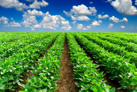potato tree: Green rows on the field  Agricultural composition Stock Photo