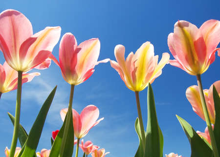 Tulips on the sky background photo