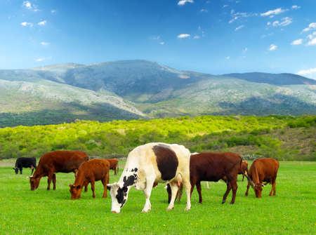 Cows on the farm photo