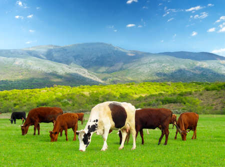 Cows on the farm Banco de Imagens