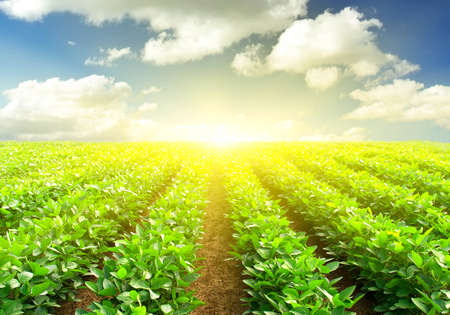 potato tree: Rows and cloudy sky in the summer time Stock Photo