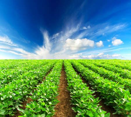 Green rows on the field Banco de Imagens - 24349406