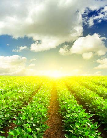 potato tree: Green rows on the field