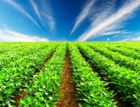 potato field: Green rows on the field